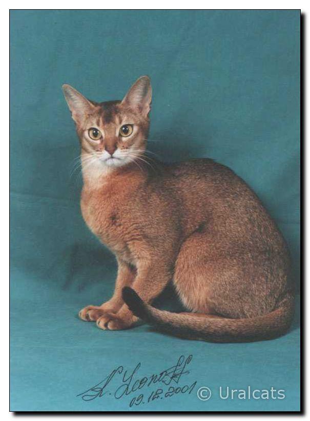 Абиссинская кошка s a saira ofish