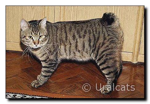 http://uralcats.narod.ru/oldest/image_cats_all/kuril-bob/bigimages/mmm2.jpg